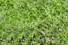 Aromatic ground cover you can walk on - 'Treneague' Dwarf Chamomile: Super dense gray-green foliage will delight your toes as you walk upon this non-flowering, highly aromatic dwarf chamomile . It will creep around a path, carpet around your perennials or make a nice lawn area.