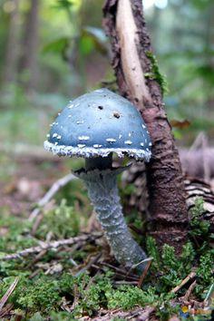 Strophaire vert-de-gris (verdigris agaric woodland mushroom)