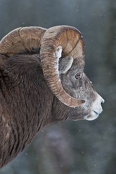 Bighorn sheep...bit of snow on the horn, winter is on the way