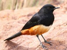 Mocking Cliff Chat, Myrmecocichla cinnamomeiventris --male-- at Marakele National Park, South    Africa