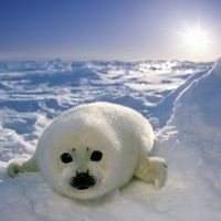 The baby white coat of the harp seal is moulted after two to four weeks to a spotted grey -- the seals gain their distinctive 'harp'-patterned coat at sexual maturity. Arctic Wildlife; www.bradtguides.com.
