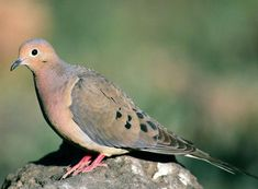 Bird Sounds and Songs of the Mourning Dove | The Old Farmer's Almanac