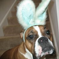 its Cody the boxer bunny