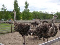 Долина страусів, Ясногородка     Read more at: https://ua.igotoworld.com/ua/poi_object/66621_dolina-strausov.htm