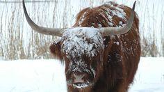 Buffel after blizzard