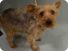 Pictures of Honey in RI a Yorkie, Yorkshire Terrier for adoption in Providence, RI who needs a loving home.