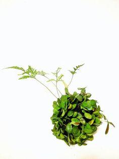 Humata tyermanii and Lemmaphyllum microphyllum tsuridama (hanging kokedama)吊り玉(トキワシノブ×マメヅタ) - tito