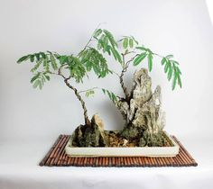 Acacia Bonsai landscape composition/penang, cultivated and styled by Leonard by LiveBonsaiTree on Etsy