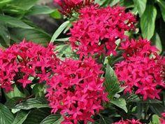 220 Pentas Butterfly Deep Rose Live Plants Plugs Garden Planters 697   eBay