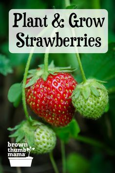 You can grow amazing strawberries this year! These easy tips will show you: which kinds will give you the best harvest; the right sun, water, and soil for strawberries; and how to keep bugs away. Planting Fruit Trees, Dwarf Fruit Trees, Fruit Bushes, Growing Fruit Trees, Strawberry Beds, Strawberry Garden, Fruit Garden, Vegetable Garden For Beginners, Gardening For Beginners