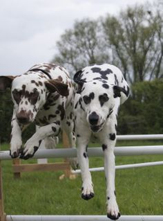 Dalmatians -- liver and black Dals jumping together.