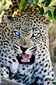 """""""Angry Leopard"""" by Richard de Gouveia"""