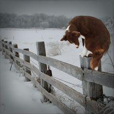 Border Collie Cricket Fence Snow Dog