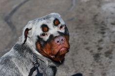 Albino Rottweiler | get out of the way next is an albino rottweiler