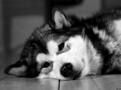 huskies have now taken over the entire heart leaving only 1/4 for anything else! :)