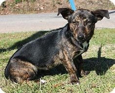 Prattville, AL - Dachshund Mix. Meet Courtney 23474, a dog for adoption. http://www.adoptapet.com/pet/14444847-prattville-alabama-dachshund-mix