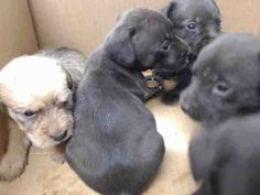 08/10/15-HOUSTON - PUPPY ALERT - THESE BABIES NEED OUT IMMEDIATELY!!! This DOG - ID#A440219 I am a male, brown Labrador Retriever mix. The shelter staff think I am about 3 weeks old. I have been at the shelter since Aug 09, 2015. This information was refreshed 54 minutes ago and may not represent all of the animals at the Harris County Public Health and Environmental Services.