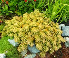 "Sedum x adolphii Golden Sedum.  honey to chartreuse-colored succulent, develops pink highlights. More golden in the sun, can handle bright shade as long as it isn't overly wet. Forms a lovely, low mat of trailing stems about 6-12"" high & 1-2' wide. Star-shaped yellow-white flowers. Provide good drainage & compost annually  sun/bright shade, low/avg water."