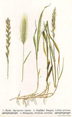 Grass species original 1913 botanical print by PaperThesaurus