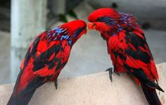 The blue-streaked lory (Eos reticulata) is also known as the blue-necked lory. It is a medium size parrot (31 cm), primarily red with blue streaks from eye through ear coverts, brown-black tail, and black variegation on wing coverts.
