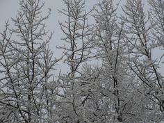 Branches III, Spring Snow, 2013