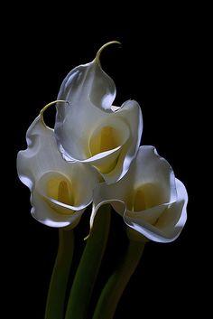 ~~ Calla Lily Flames by Bernie Kasper ~~
