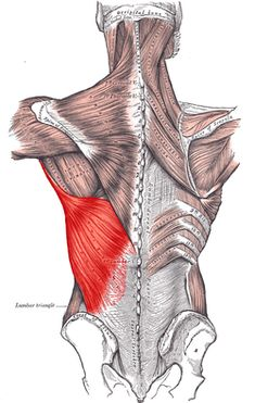 Latissimus dorsi  OriginSpinous processes of vertebrae T7-L5, thoracolumbar fascia, iliac crest, inferior 3 or 4 ribs and inferior angle of scapula InsertionFloor of intertubercular groove of the humerus ArteryThoracodorsal branch of the subscapular artery NerveThoracodorsal nerve ActionsAdducts, extends and internally rotates the arm AntagonistDeltoid and trapezius muscle