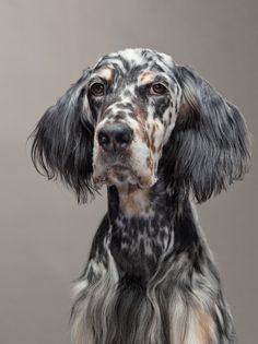 """""""I seriously thought I would grow out of my freckles"""" - English Setter"""