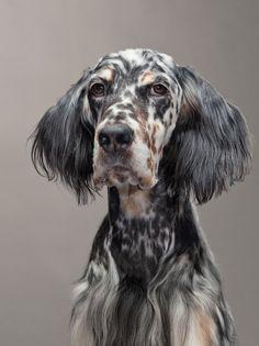 so soulful English Setter Puppy Dog Dogs Puppies Love My Dog, Beautiful Dogs, Animals Beautiful, Regard Animal, Animals And Pets, Cute Animals, Mundo Animal, Irish Setter, Dog Photography