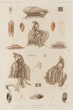 Animal de porcelaine tigre (femelle) Anatomie de la mème (mâle) Aneillaire à sillons blancee (femelle) Aneillaire australe (mâle) Strombe lambis (femelle) Agathine mauritienne