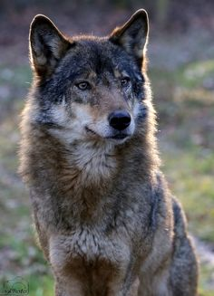 pretty wolf pictures pretty wolves wolves pinterest wolf