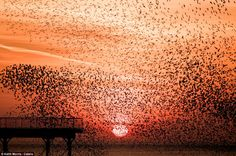 At least 50,000 starlings are thought to make up the murmurations above the Aberystwyth Royal Pier, in Wales. Photo Keith Morris. The birds gather for safety in numbers, to keep warm and exchange information on feeding