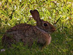 "Rabbit by Linda M Gardner digital art ~ 14"" x 11"""
