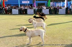 Jamshedpur Obedience Dog Show 2014 Dog Show, Dog Pictures, Attraction, Labrador Retriever, Law, Dogs, Animals, Image, Labrador Retrievers