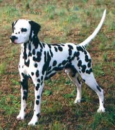 dalmation dog photo | the dalmatian is a breed of dog mainly used as a carriage dog ...
