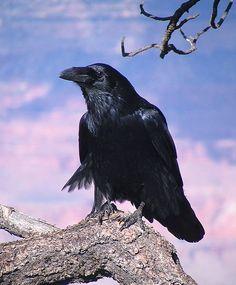 Le corbeau                                                       …                                                                                                                                                                                 Plus
