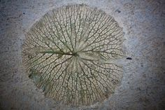 Leaf stamp in concrete