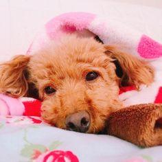 . 今日は寒いからブランケットにくるまってます🍄🍃 アニーお気に入りのミニーちゃんのブランケット😊❤ . #toypoodle #poodle #プードル #トイプードル #犬 #愛犬 #犬バカ部  #dog #dogs_of_instagram #pet #pets #ilovemydog #instagramdogs #dogstagram #dogoftheday #lovedogs #instadog #写真好きな人と繋がりたい #カメラ好きな人と繋がりたい #犬好きな人と繋がりたい #トイプー部 #プードル部 #甘えんぼ #iPhone6Plus #Annie