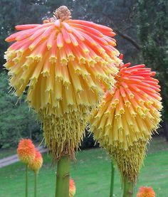 Red Hot Poker ~ Kniphofia
