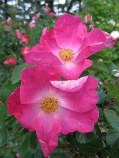 William Booth (Explorer Series Rose) R. kordesii hybrid. Z3, 3', single blooms of soft-red, reblooms; fully hardy. f