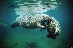 Manatee babies always love their mothers.