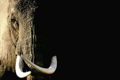 great tusks