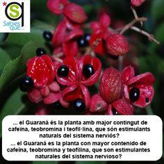 El #Guarana es la planta con mayor conteniso de cafeína, teobromina y teofilina, que son estimulantes naturales del sistema nervioso / El #guarana és la planta amb major contingut de cafeïna, teobromina i teofil·lina, que són estimulants naturals del sistema nerviós