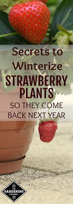 Winterize your strawberry plants so they can grow back every year. Try these tips for potted strawberry plants.