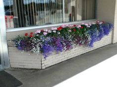Lobelia creates waves of color in planters.. read more  #gardening #window Boxes #planters