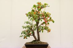 Chinese quince - 42 years