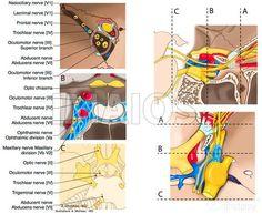 Cranial nerves-Optic nerve [II]/Nerves III - IV - VI/Ophthalmic nerve; Ophthalmic division [Va; V1]: Brainstem - Cavernous sinus - Superior orbital fissure