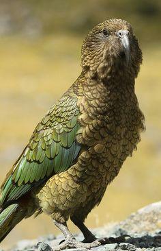 Kea - New Zealands cheeky mountain parrot | Flickr - Photo Sharing!