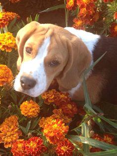 Beagel puppy... So cute ❤️ my little Leo