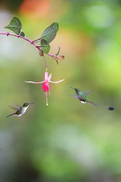 Booted Racket-tail by Michal Jirouš on 500px